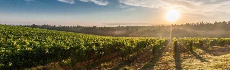 cropped-vineyards.jpeg